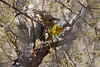 Grey-headed Bush-shrike<br /> Kruger National Park, South Africa