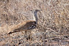 Kori Bustard<br /> Kruger National Park, South Africa