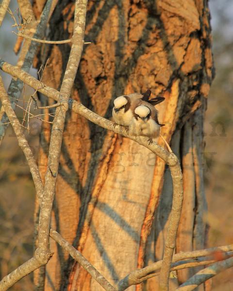 Southern White-crowned Shrike<br /> Kruger National Park, South Africa