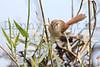 Tawny-flanked Prinia<br /> Kruger National Park, South Africa