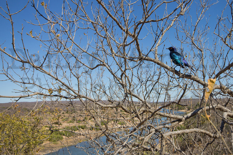 Cape Glossy Starling<br /> Kruger National Park, South Africa