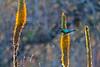 White-bellied Sunbird<br /> Kruger National Park, South Africa