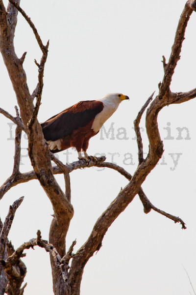 African Fish Eagle<br /> Kruger National Park, South Africa