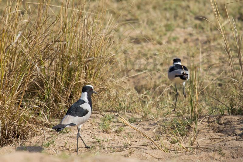 Blacksmith Lapwing (Plover)<br /> Kruger National Park, South Africa