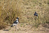 Blacksmith Lapwing (Plover)<br /> Kruger National Park, South Africa