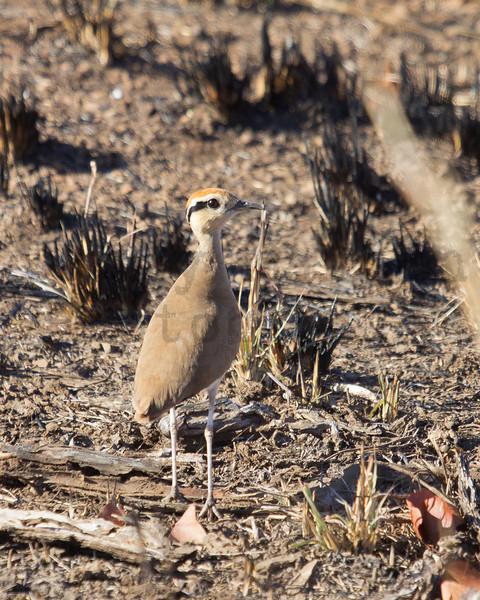 Temminck's Courser<br /> Kruger National Park, South Africa