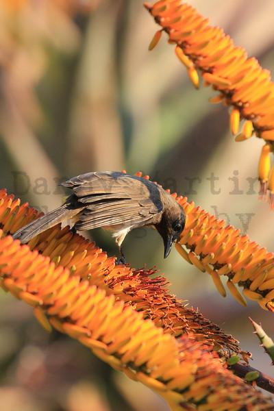 Common (Dark-capped) Bulbul<br /> Kruger National Park, South Africa