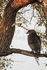 Bateleur (juvenile)<br /> Kruger National Park, South Africa