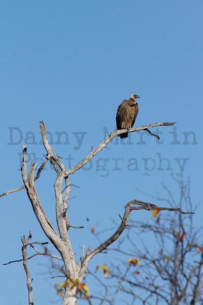 White-backed Vulture<br /> Kruger National Park, South Africa