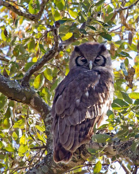 Verreaux's Eagle-Owl (juvenile)<br /> Kruger National Park, South Africa
