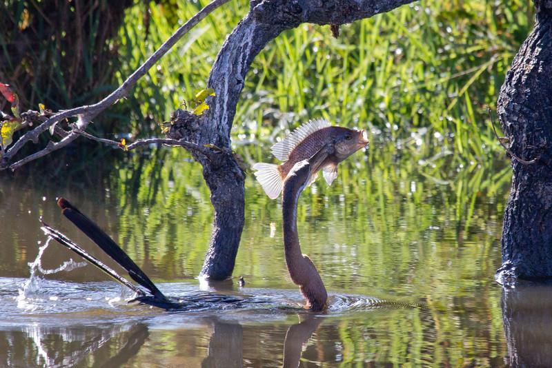 African Darter with prey<br /> Kruger National Park, South Africa