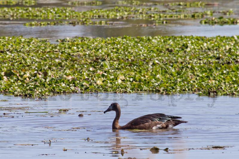 Spur-winged Goose<br /> Kruger National Park, South Africa