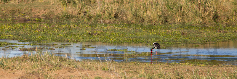 Saddle-billed Stork (foraging)<br /> Kruger National Park, South Africa