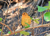 Red-capped Robin-chat (Natal Robin)<br /> Kruger National Park, South Africa