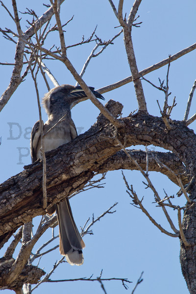 African Gray Hornbill (male)<br /> Kruger National Park, South Africa
