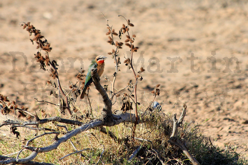 White-fronted Bee-eater<br /> Kruger National Park, South Africa