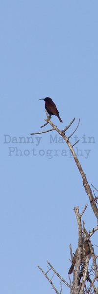 Scarlet-chested Sunbird<br /> Kruger National Park, South Africa