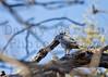 Lizard Buzzard<br /> Kruger National Park, South Africa