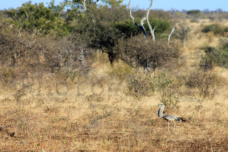 Kori Bustard<br /> Kruger National Park, South Africa