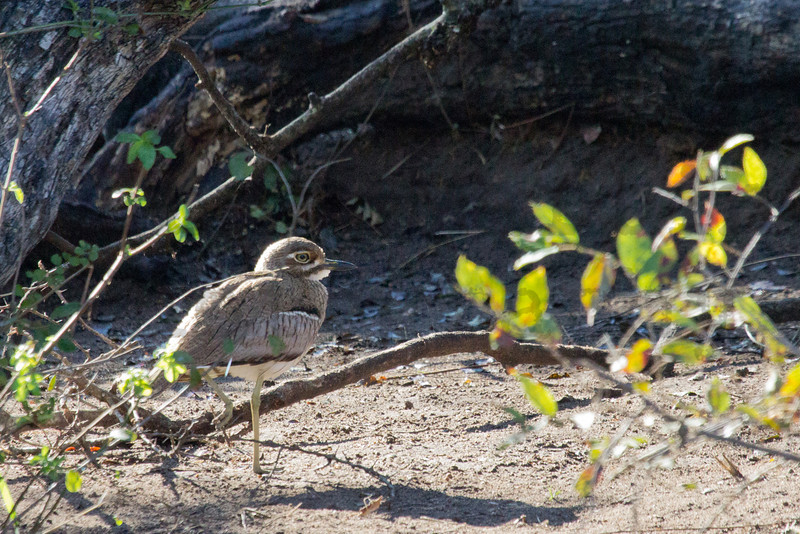 Water Thick-knee (Dikkop)<br /> Kruger National Park, South Africa