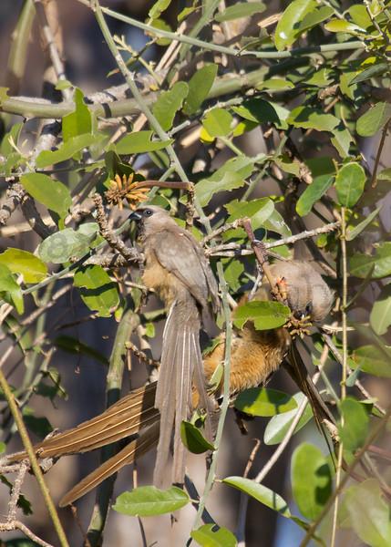 Speckled Mousebird<br /> Kruger National Park, South Africa