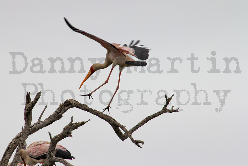 Yellow-billed Stork (landing)<br /> Kruger National Park, South Africa