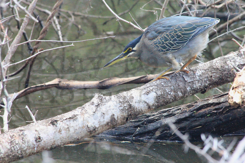 Striated (Green-backed) Heron (stalking prey)<br /> Kruger National Park, South Africa