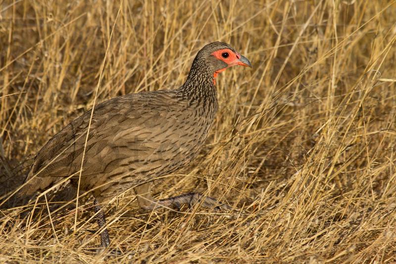 Swainson's Spurfowl (Francolin)<br /> Kruger National Park, South Africa