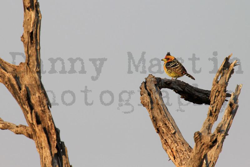 Crested Barbet<br /> Kruger National Park, South Africa