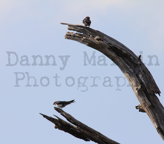 Wire-tailed Swallows, perched & preening<br /> Kruger National Park, South Africa
