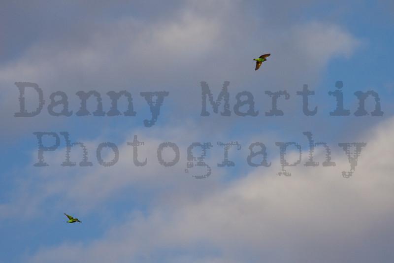 Brown-headed Parrots in flight<br /> Kruger National Park, South Africa