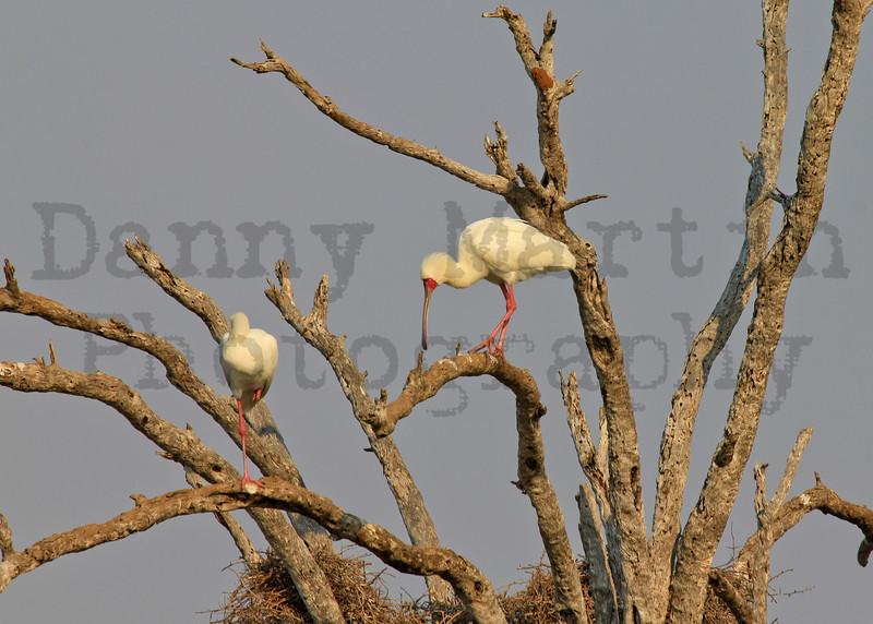 African Spoonbill<br /> Kruger National Park, South Africa