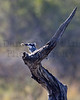 Pied Kingfisher<br /> Kruger National Park, South Africa