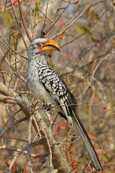 Southern Yellow-billed Hornbill<br /> Kruger National Park, South Africa