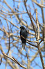 Fork-tailed Drongo<br /> Kruger National Park, South Africa