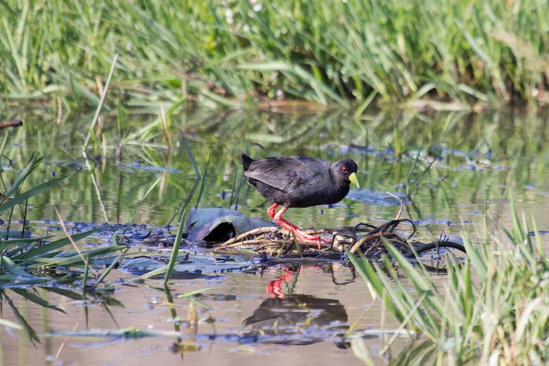 Black Crake<br /> Kruger National Park, South Africa