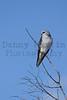 Black-shouldered Kite<br /> Kruger National Park, South Africa