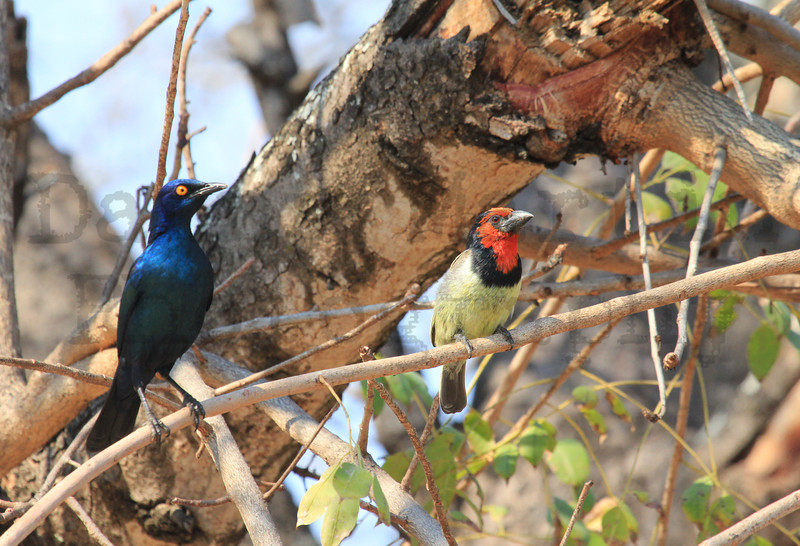 Black-collared Barbet<br /> Kruger National Park, South Africa