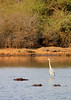 Grey Heron & Hippos<br /> Kruger National Park, South Africa