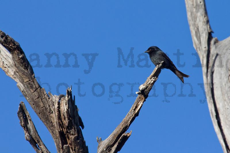 Fork-tailed Drongo<br /> Kruger National Park, South Africa