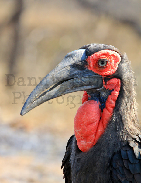 Southern Ground Hornbill<br /> Kruger National Park, South Africa