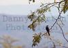 White-crested Helmetshrike<br /> Kruger National Park, South Africa