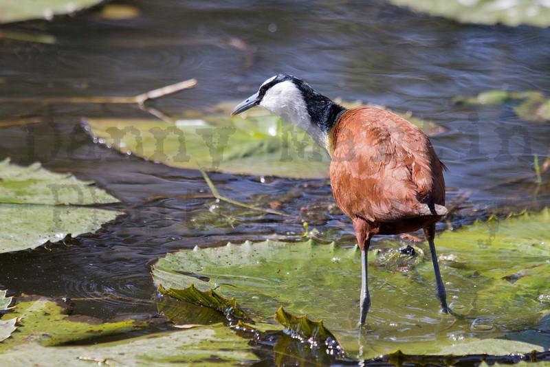 African Jacana<br /> Kruger National Park, South Africa