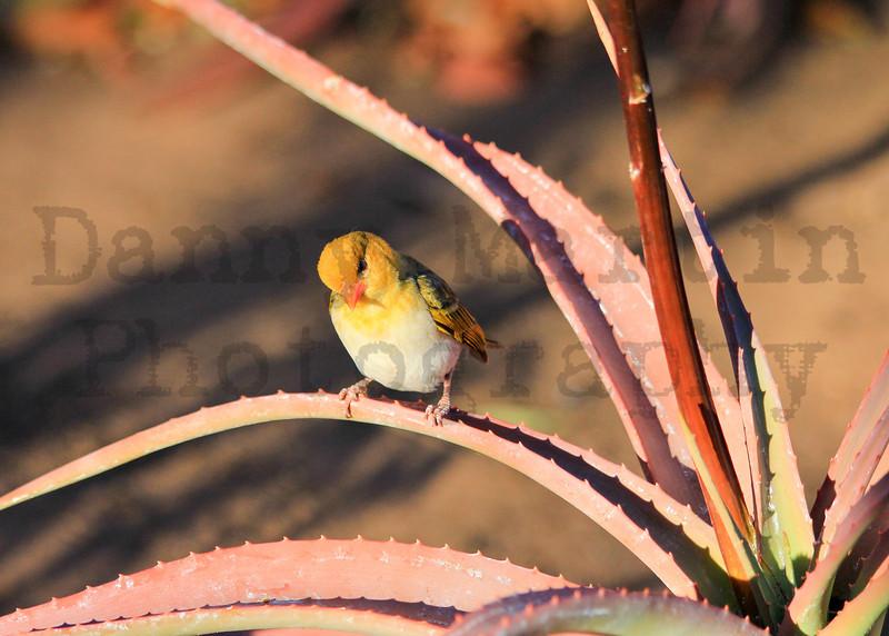 Red-headed Weaver (female)<br /> Kruger National Park, South Africa