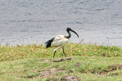 African Sacred Ibis, Chobe National Park, Botswana Only royalty were allowed to eat them