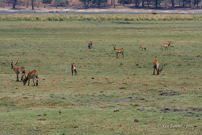 Grazing Red Lechwe. They have splayed elongated hooves to enable them to run on swampy terrain where they live