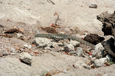 A Nile Monitor Lizard searching for some eggs to eat.