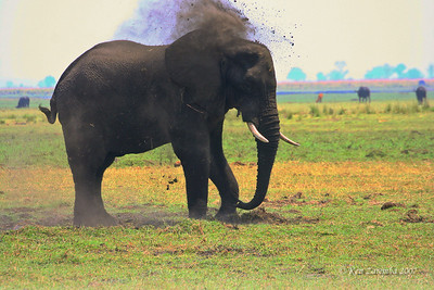 Bull elephant giving itself a dust bath