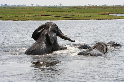 Elephants frolicking and playing in the Chobe on their way over to good grass for grazing