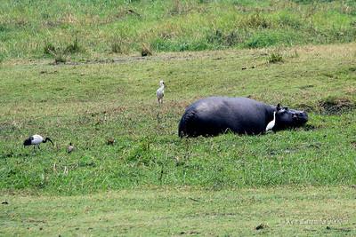 Birds ( Jacana, Egret, Stork & Ibis) working and feeding in the wake of a hippo, Chobe national Park, Botswana